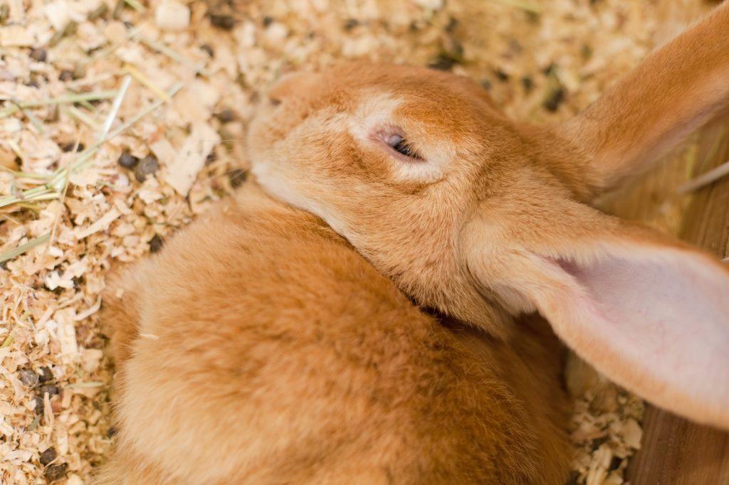 ぐっすり眠るウサギ