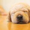 眠った子犬