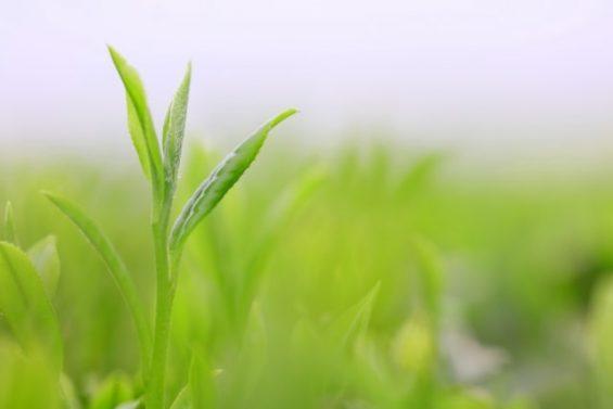 美味しい緑茶の茶葉